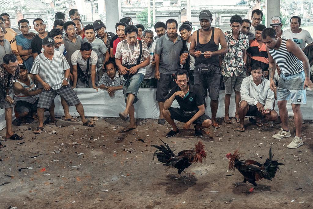 S1288 Situs Terbaik Untuk Main Sabung Ayam